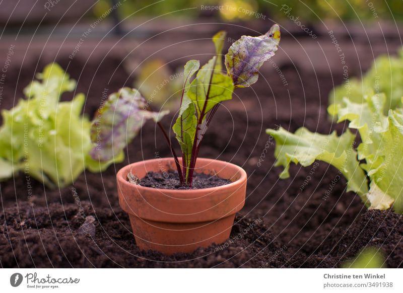 Rote Bete Pflänzchen in einem Tontopf steht in einem Hochbeet zwischen kleinen Salatpflanzen Rote Bete Pflanze junges Gemüse Beet Pflanztopf Frühling Ernährung