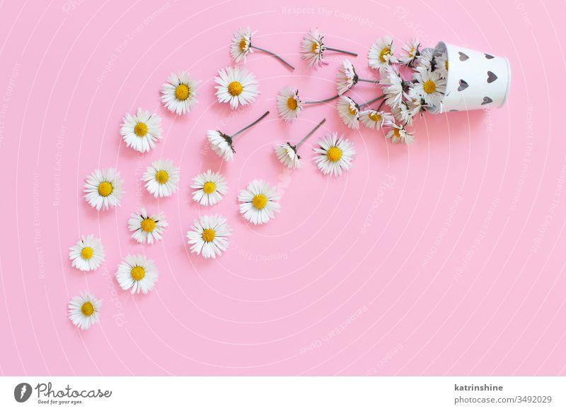 Frühlingskomposition mit weißen Gänseblümchen, die aus einem Eimer fallen Blume romantisch Liebe hellrosa Draufsicht oben Konzept kreativ Tag Dekor