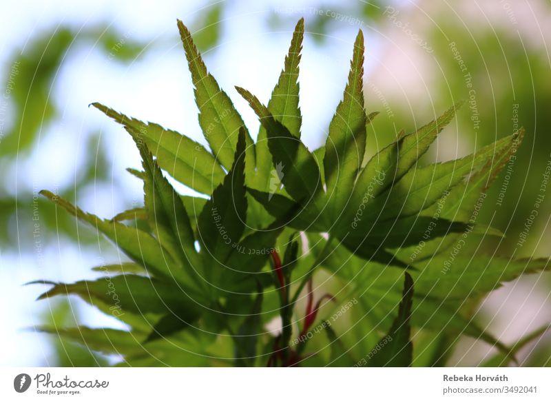 Grüne Blätter des japanischen Ahornbaums mit Himmelshintergrund. Baum Windstille Japanischer Ahorn Frühling grün Natur Blatt Forstwirtschaft Garten Park Pflanze