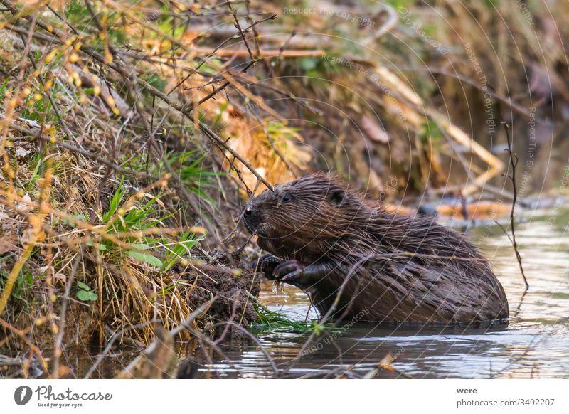 Ein nasser Biber sitzt im Wasser am Ufer eines Baches Tier Bank Biberburg Ast Textfreiraum kuschlig kuschelig weich niedlich Wald Fell nagen Säugetier Natur