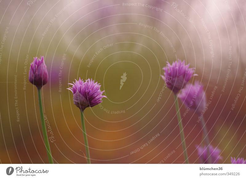 Ganz schön schnittig, der Lauch grün Pflanze Blüte Gesundheit natürlich Lebensmittel Wachstum stehen Ernährung Blühend violett Kräuter & Gewürze Stengel Duft