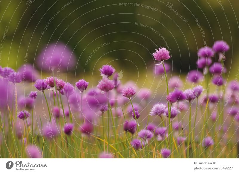 Zu spät für die Ernte? grün Pflanze Blüte Gesundheit natürlich Lebensmittel Wachstum stehen Ernährung Blühend violett Kräuter & Gewürze Stengel Duft Bioprodukte