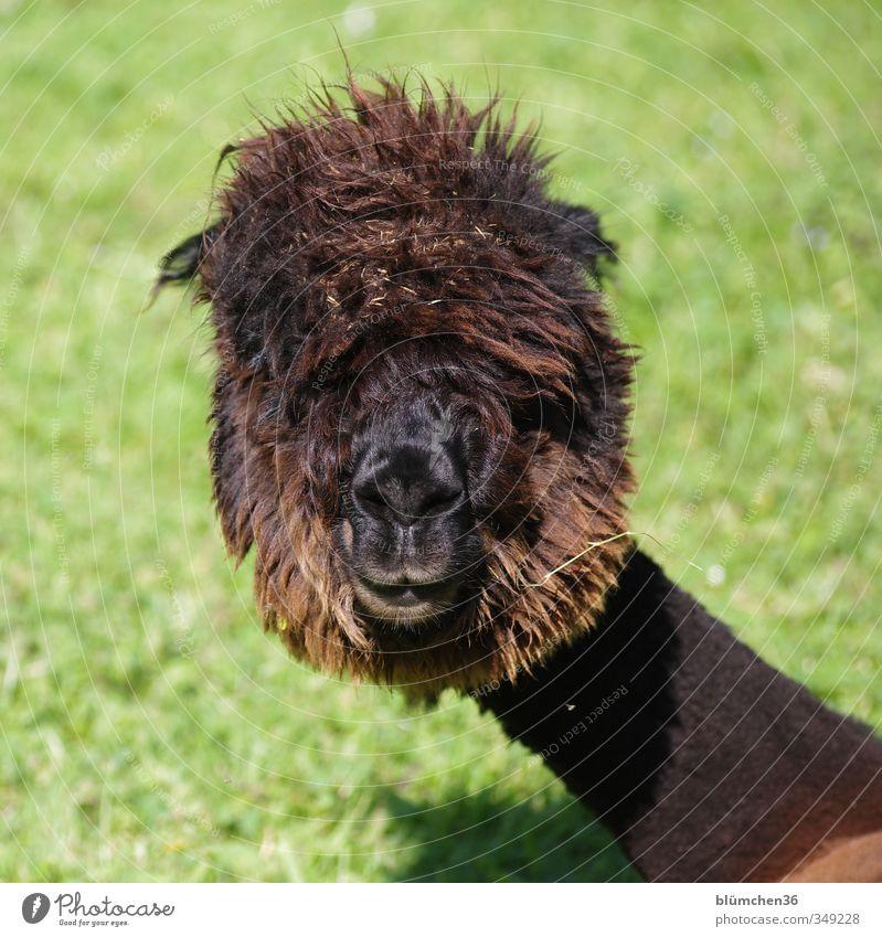 Schräge Frisur... Tier Nutztier Tiergesicht Fell Alpaka Kamel Lama 1 beobachten Fressen hören Blick außergewöhnlich Freundlichkeit einzigartig kuschlig