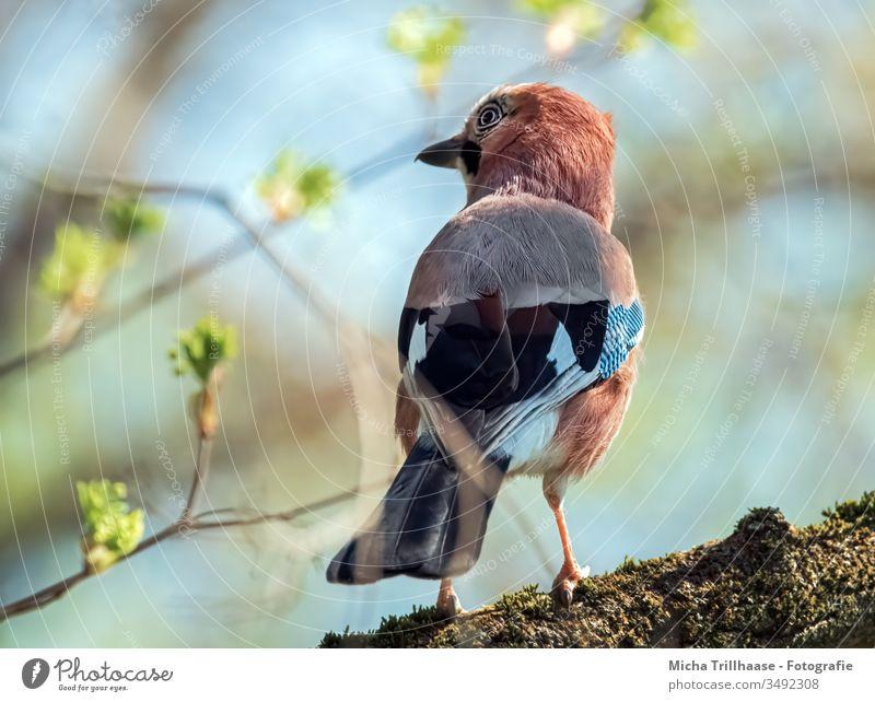 Eichelhäher beobachtet die Umgebung Garrulus glandarius Tiergesicht Kopf Schnabel Auge Flügel Feder gefiedert Vogel Baum Zweige u. Äste Blick Wildtier Natur