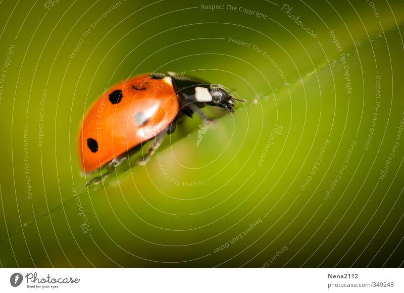 Auf dem Weg Umwelt Natur Tier Frühling Sommer Blatt Käfer 1 ästhetisch glänzend grün rot fleißig Beginn Endzeitstimmung Identität Konzentration