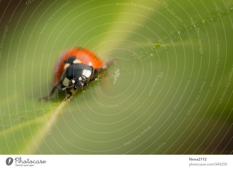 Face à face Umwelt Natur Tier Frühling Sommer Schönes Wetter Blatt Garten Park Wiese Feld Wald Käfer 1 krabbeln grün rot Glücksbringer Marienkäfer Insekt