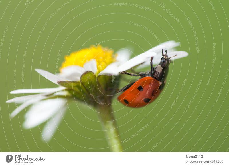 Auf Entdeckungsreise Umwelt Natur Tier Frühling Sommer Blume Blüte Wildpflanze Garten Park Wiese Feld Käfer 1 beobachten entdecken krabbeln grün rot