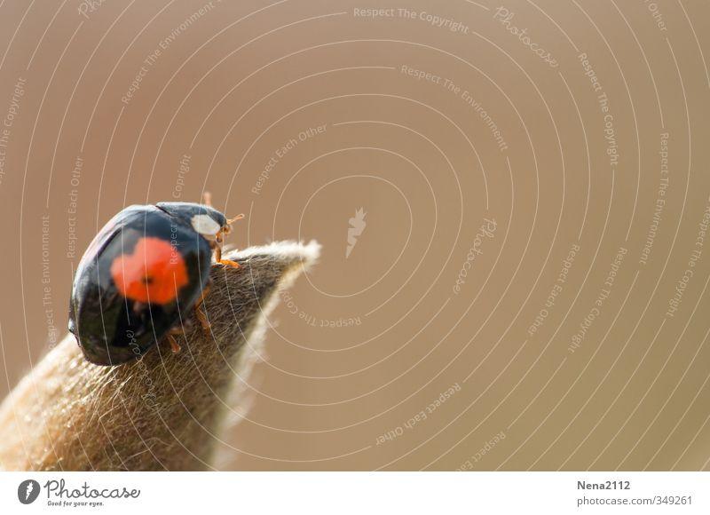 Sommer!!! Umwelt Natur Tier Luft Frühling Schönes Wetter Pflanze Blatt Garten Park Wiese Feld Käfer 1 rot schwarz Marienkäfer Glücksbringer Klettern oben klein