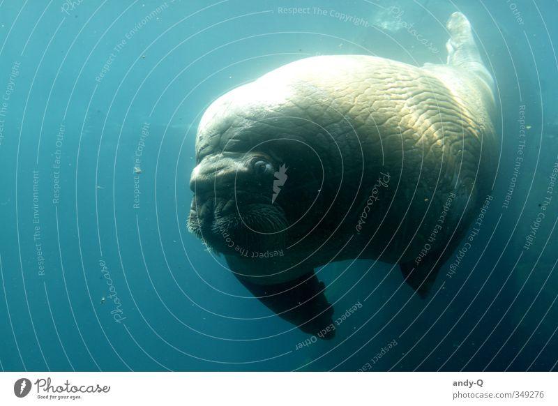 the walrus Wasser Wildtier Walroß 1 Tier Schwimmen & Baden tauchen dick muskulös nass blau türkis Coolness Kraft friedlich Vorsicht Gelassenheit ruhig