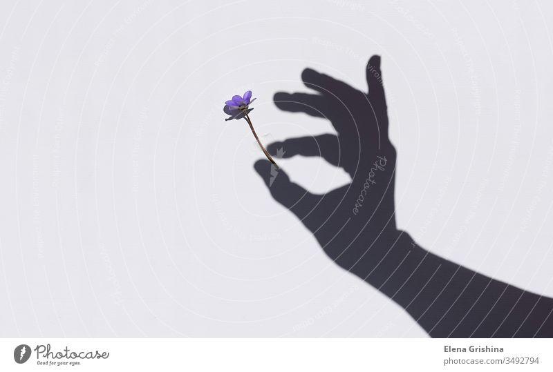 Frühlingsblüte in der Hand einer Frau. Schatten an der Wand. Blume Licht Hintergrund geblümt Konzept Schönheit Sonnenlicht Silhouette schön Blütezeit Symbol