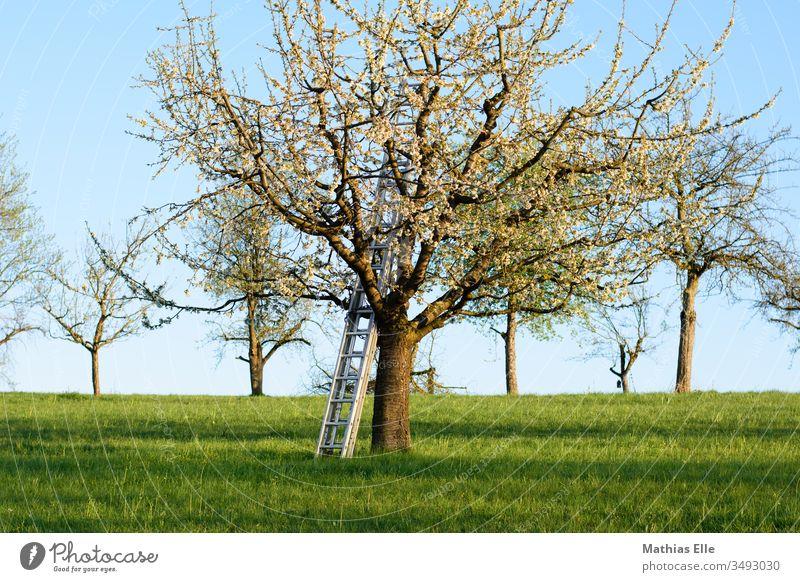Leiter für die Veredelung am Obstbaum Sonnenlicht Licht Tag Menschenleer Außenaufnahme Farbfoto Blühend Ast Obstgarten weiß natürlich blau Garten Nutzpflanze