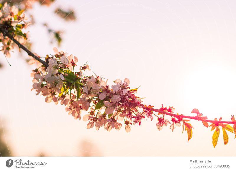 Kirschblüten in der Abendsonne Garten Nahaufnahme Frühling Natur zart Gegenlicht Blütenblatt Makroaufnahme Ast Kirschbaum Schönes Wetter Sonnenlicht sakura