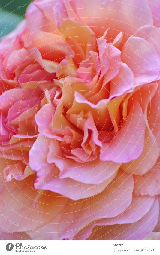 Labyrinth der Blütenblätter Rose rosa blühen Duft Rosenblüte schön Blume sommerlich romantisch duftend frisch blühende Blume Blühend Rosenduft Nahaufnahme Natur