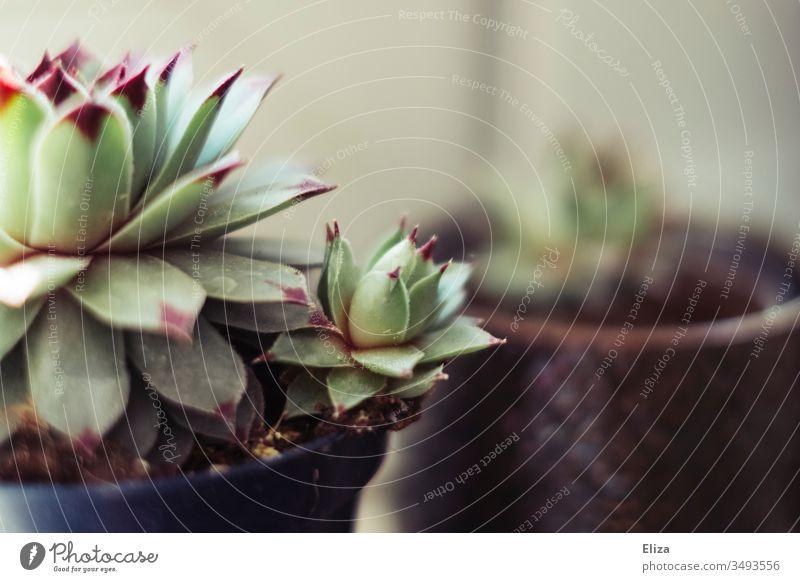 Hauswurz Sukkulente mit einem kleinen Kindel in einem Blumentopf bei Sonnenlicht Vermehrung Pflanze Topfpflanze hübsch Farbfoto Menschenleer Innenaufnahme Blatt