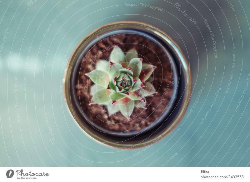 Kleine Hauswurz Sukkulente in einem Blumentopf von oben in Vogelperspektive auf blauem Untergrund Pflanze Topfpflanze hübsch Farbfoto Menschenleer Innenaufnahme