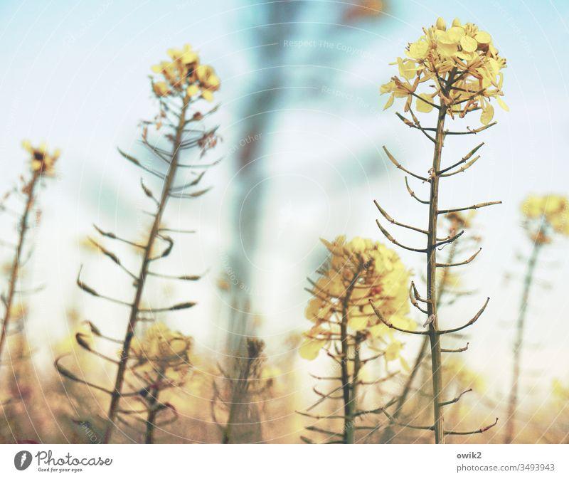 Biegsam Raps Feld Rapsfeld Landwirtschaft Halme viele Blüten gelb Natur Pflanze Frühling Himmel Farbfoto Außenaufnahme Landschaft grün Blühend Schönes Wetter