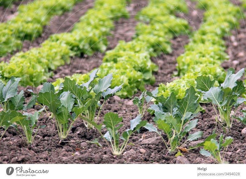 Kohlrabi und Salatpflanzen wachsen auf einem Feld Pflanze Kohlrabipflanze Frühling Garten Nahrungsmittel Lebensmittel Gemüse Natur Gesunde Ernährung