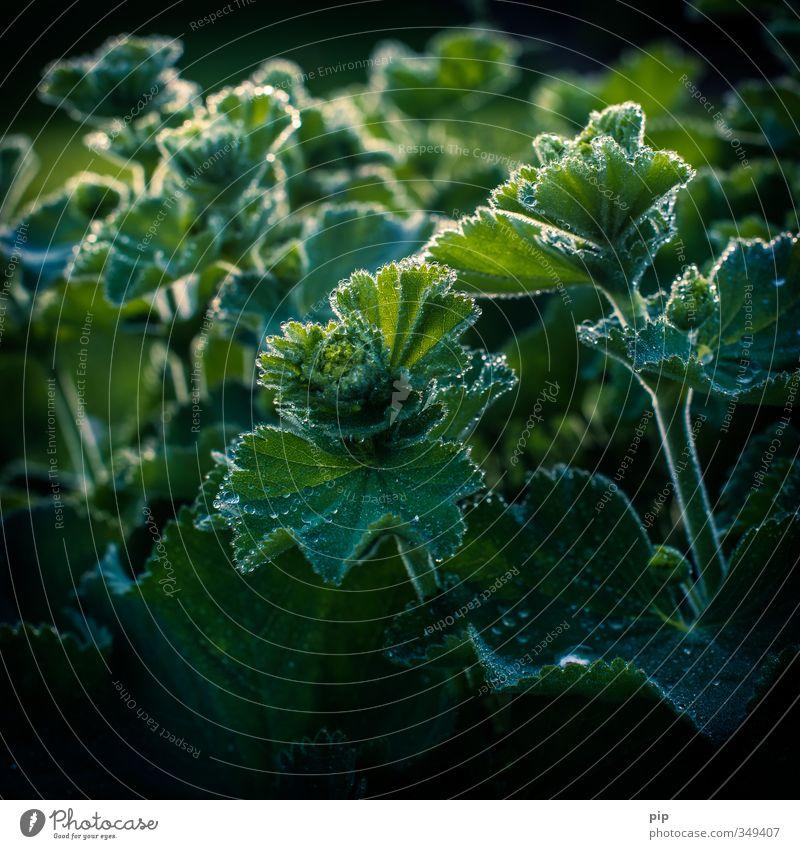 frauen(regen)mantel Natur Pflanze Wassertropfen Sträucher Blatt Frauenmantel Frauenmantelblatt Stauden Garten nass grün Silhouette Tau hydrophob frisch Farbfoto