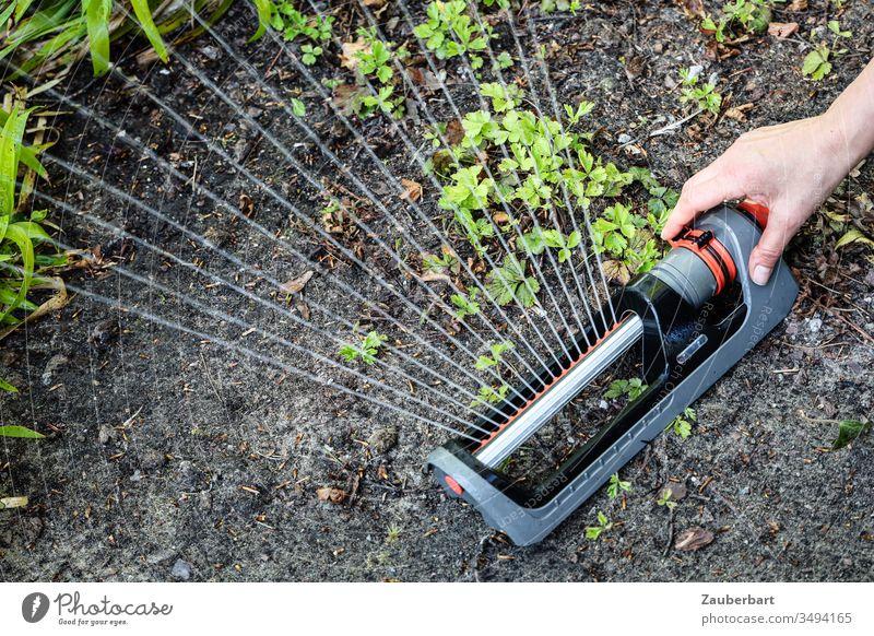 Regner sprüht Wasser auf Grünpflanzen in der Erde mit Hand Sprinkler Viereckregner bewässern gießen Wasserstrahl Pflanze grün Garten Gartenarbeit Fächer Gärtner