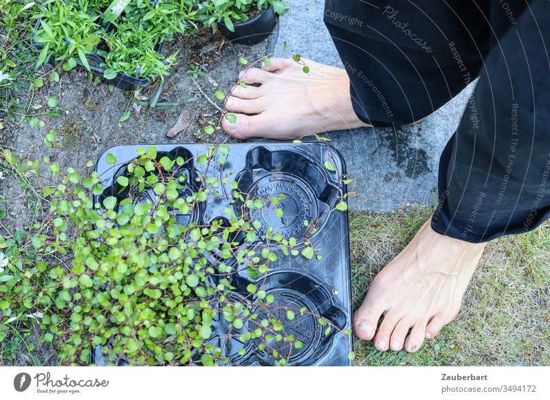Bodendecker Pflanze Mühlenbeckia in Plastikschale neben zwei Füßen barfuß im Garten Grünpflanze Schale Fuß nackt Zehen einpflanzen Gartenarbeit Gärtner