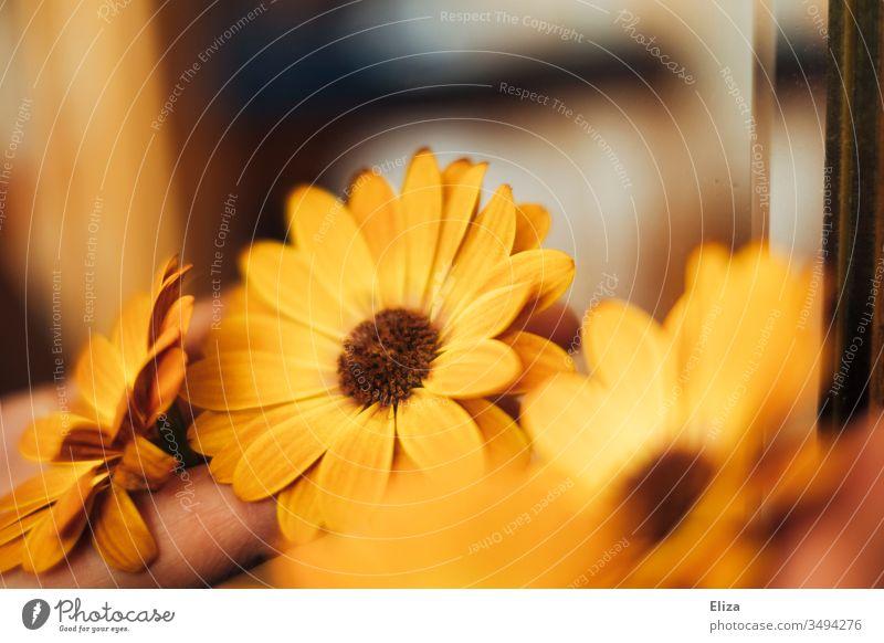 Gelbe orangene Blüten der Kapmargerite in warmen Licht mit viel Unschärfe; Kapkörbchen kapmargerite Blumen sommerlich farbenfroh Tag dekorativ Menschenleer
