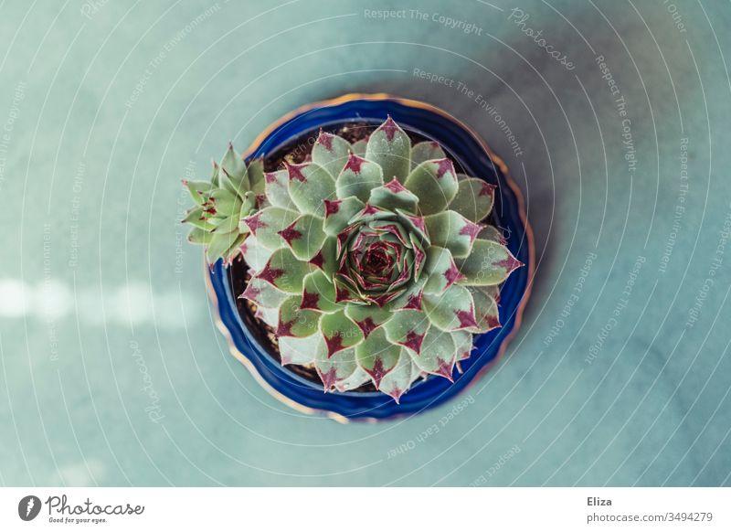 Hauswurz Sukkulente mit kleinem Kindel aus Vogelperspektive auf blauem Untergrund Vermehrung Ableger Unterteller Pflanzen dekorativ schön sukkulente Pflanze