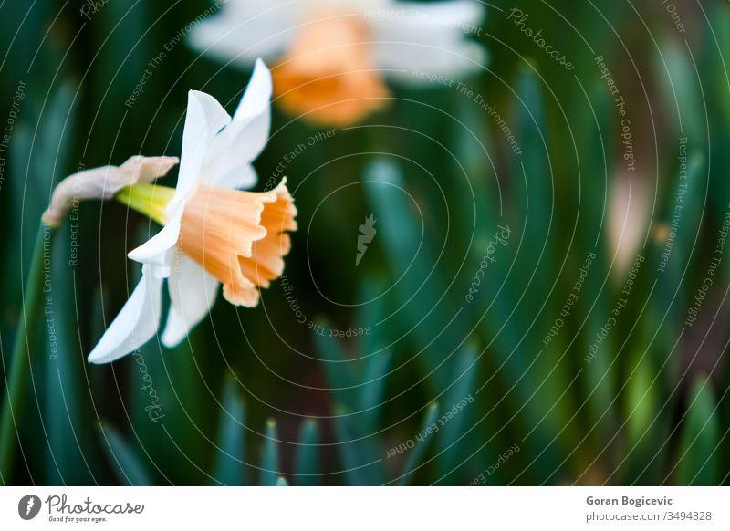 Narzisse Nahaufnahme Blume Garten Pflanze Frühling Natur gelb Blüte Blatt schön Saison Blütenblatt Blütezeit geblümt Ostern Überstrahlung Feld Flora natürlich
