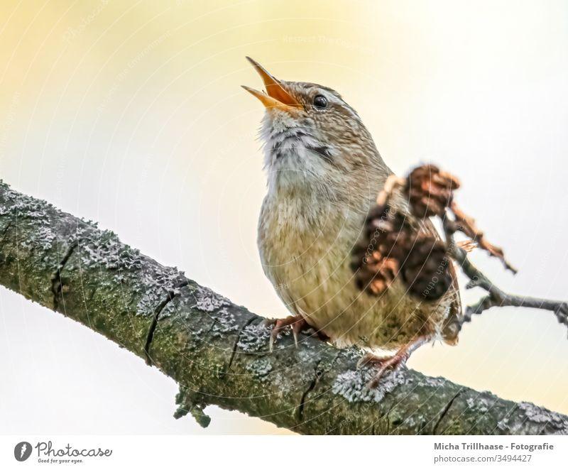 Singender Zaunkönig Troglodytes troglodytes Vogel Kopf Schnabel Auge Feder gefiedert Krallen Flügel Tiergesicht Wildtier Baum Zweige u. Äste Blick Kommunizieren