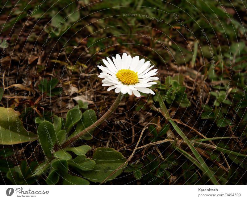 Ein einsames Gänseblümchen im Frühling Blume Flower Wiesenblume klein zart schön Sommer Blätter grün Stängel Blütenblätter weiß Staubblätter gelb Frühlingsbote