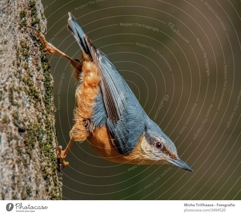 Kleiber kopfüber am Baumstamm Sitta europaea Vogel Tiergesicht Kopf Schnabel Auge Flügel Feder gefiedert Krallen hängen beobachten Blick Wildtier Natur