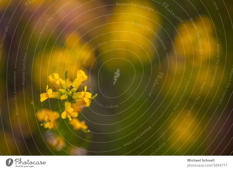 Gelbe Blüten und ein kleiner Rüsselkäfer Blume gelb Frühling Käfer Schwache Tiefenschärfe Makroaufnahme Nahaufnahme Menschenleer Farbfoto Pflanze Natur