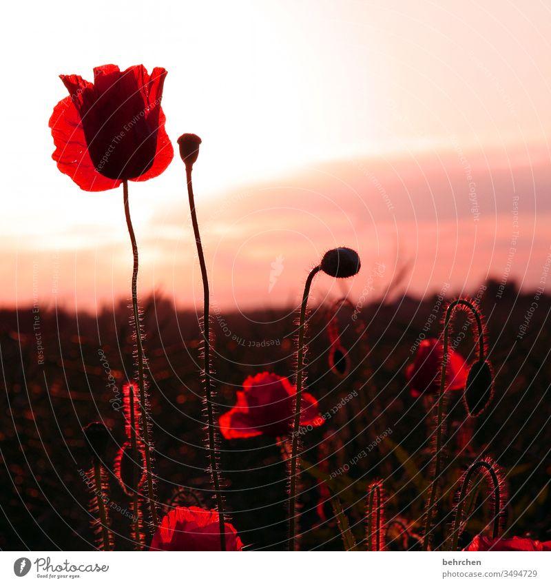 weil gestern mo(h)ntag war Blütenblatt Abenddämmerung Dämmerung Himmel Menschenleer Umwelt Wärme Wildpflanze Farbfoto Außenaufnahme Mohnfeld rot Pflanze Natur