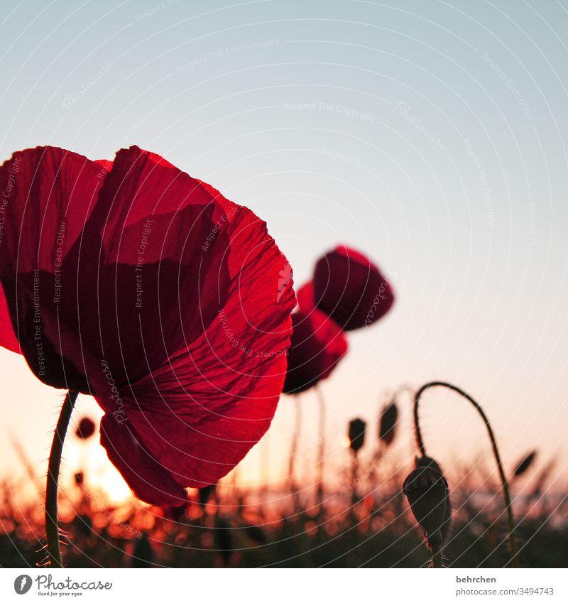 mohnliebe Mohnblume Abend Landschaft Mohnblüte mohnblumen Blume Blüte blühen duftend Duft Sommer Frühling Gegenlicht Sonnenuntergang Sonnenlicht Feld Wiese