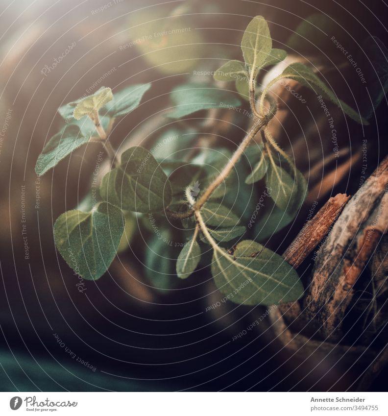 Kräuter Oregano Außenaufnahme Farbfoto Blatt Sonne Pflanze Natur Umwelt Grünpflanze Topfpflanze Garten Blüte