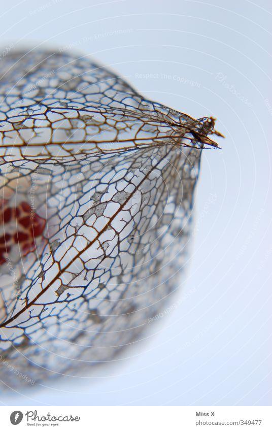 Physalis Blume Blatt Frucht exotisch Skelett verblüht Blattadern Mosaik dehydrieren Lampionblume