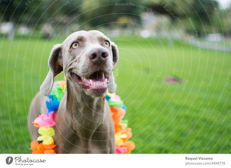 Portrait eines sehr fröhlichen Weimaraner-Hundes, mit farbenfrohem Blumen-Hawaii-Halsband am Hals, der sich im Park vergnügt und spielt. Porträt Tier Haustier