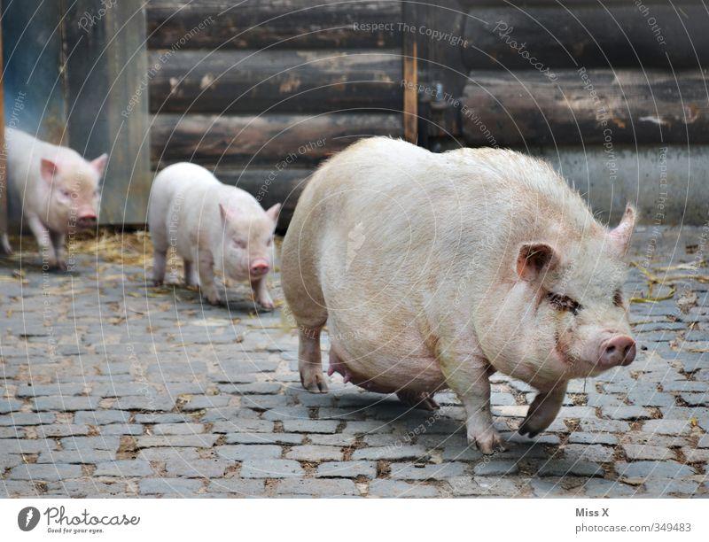 Schweinemarsch Nutztier 3 Tier Tiergruppe Herde Tierjunges Tierfamilie dreckig Gefühle Stimmung Schutz Geborgenheit Einigkeit Zusammensein Familienausflug