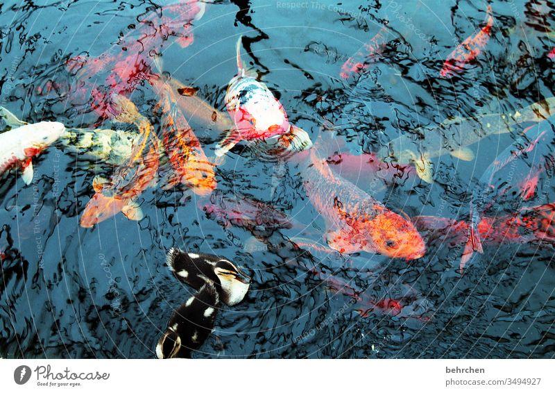 entchen und fischchen Fisch Koi Karpfen Teich See Ente entenjunge Wasser Tier Schwimmen & Baden Außenaufnahme Farbfoto Tierporträt nass Natur Vogel