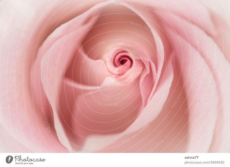 Rosenblüte in zartem rosa Natur Blüte Duft Blume Farbfoto Blühend Schwache Tiefenschärfe Nahaufnahme Garten schön natürlich Sommer Blütenblatt Menschenleer