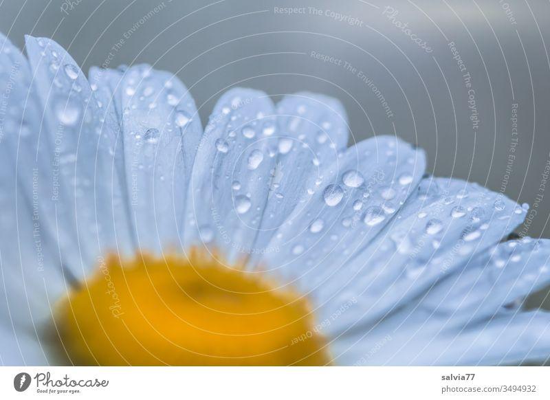 Margeritenblüte mit Regentropfen benetzt Blüte Natur Blume Sommer Tropfen Wasser Tau Makroaufnahme Nahaufnahme eiß gelb nass Menschenleer Wassertropfen frisch