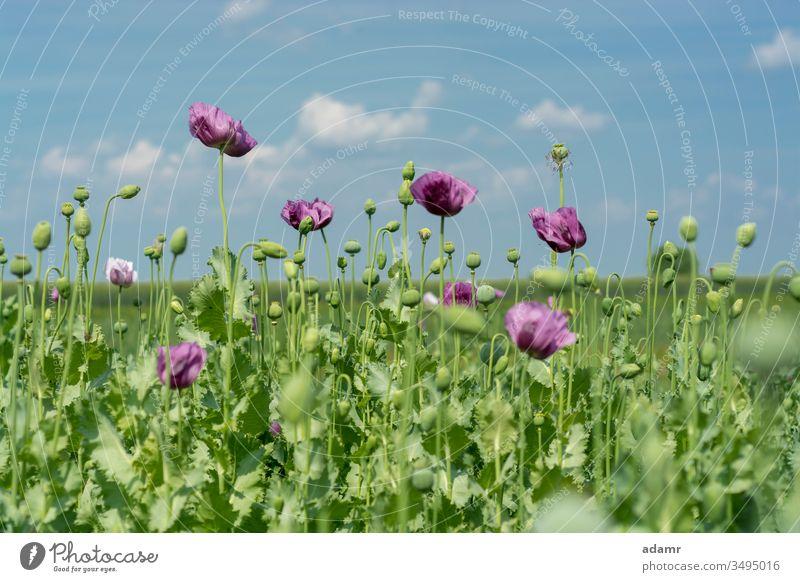 Schlafmohnblumen auf dem Feld (Papaver somniferum) Opium Mohn Blume Hintergrund Flora Pflanze geblümt wild Sommer Natur natürlich ländlich Blatt Blütezeit