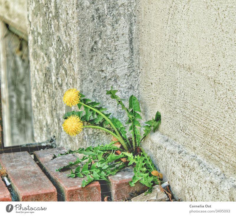 Mauerblümchen im Großstadtdschungel. Löwenzahn bahnt sich einen Weg zum Wachsen. Blume Natur Pflanze Samen Frühling Außenaufnahme geblümt gelb Garten