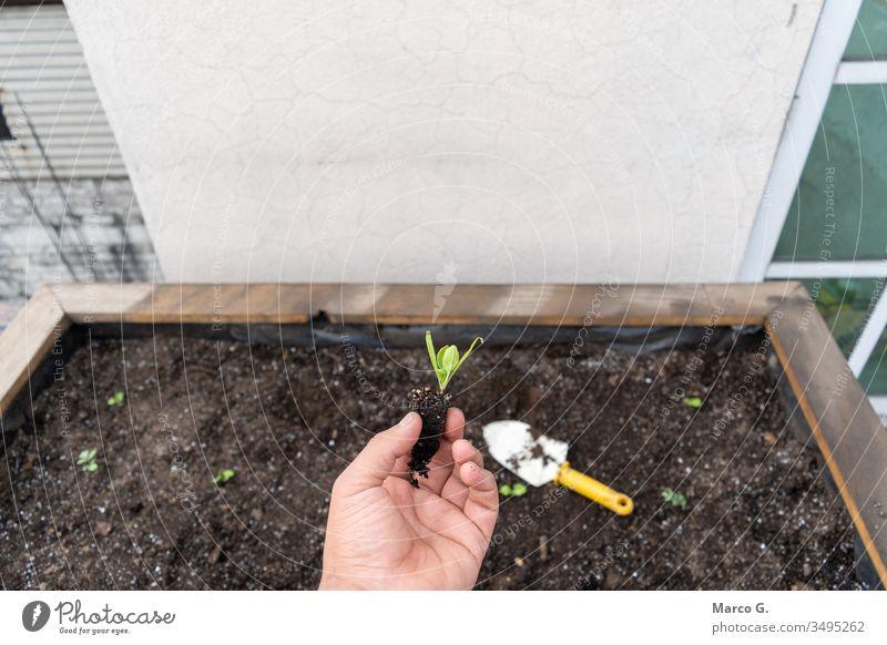 in der Hand haltende wachsende Spinatpflanze Boden Gartenarbeit Leben Natur verschmutzt Schmutz grün Pflanze Wachstum Nahrungskette neu Pflege Land Mitteilung