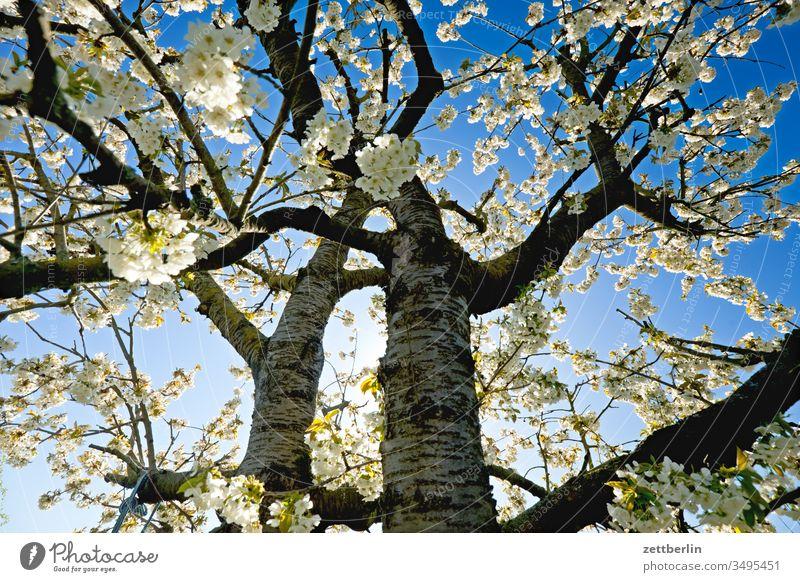Kirschblüte ast baum blühen erholung ferien frühjahr frühling garten himmel kirschbaum kirschblüte kleingarten kleingartenkolonie menschenleer natur pflanze