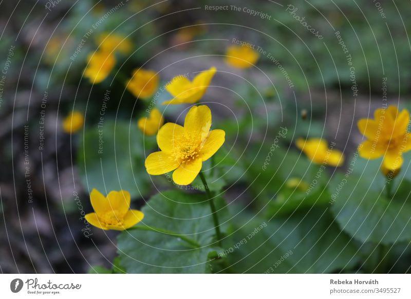 Sumpfdotterblumen im Wald im Frühling. Sumpf-Dotterblumen Blume Natur gelb gelbe Blume Blütenblatt gelbe Blumen gold Frühlingsblume Frühblüher Frühlingstag
