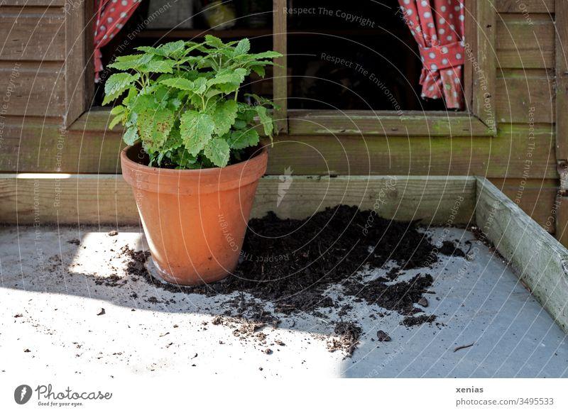 Zitronenmelisse im Tontopf steht auf Pflanztisch mit Erde vor einem Fenster aus Holz mit Gardinen Pflanze Gartenarbeit Melisse Blumentopf Frühling