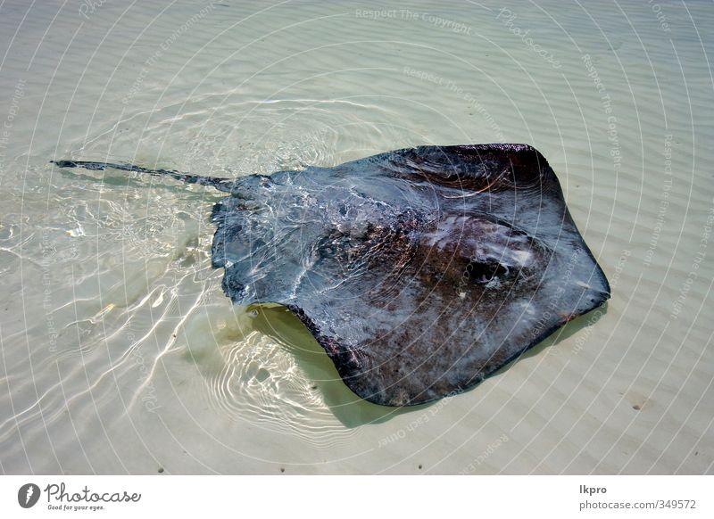 ein manta in einer mexikanischen lagune Strand Tier grau Farbe lkpro Wasser acqua messico Mexiko Lagune Manta Razza Spiaggia colori grigio animale verärgern