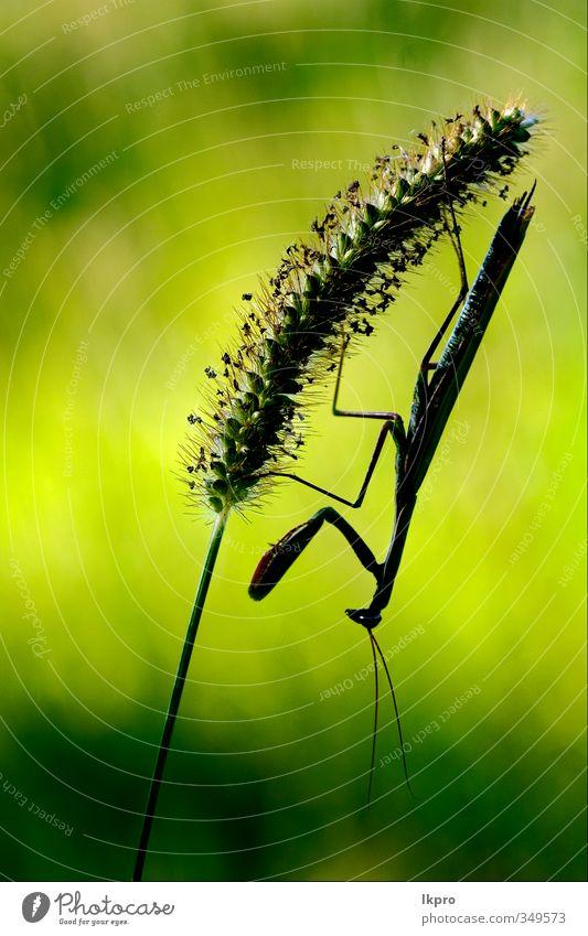 mantis religiosa in shilouette und schatten ,black e Pfote braun grün Farbe lkpro Gottesanbeterin Religiosa natura Natur colori verde Marone Insetto Insekt