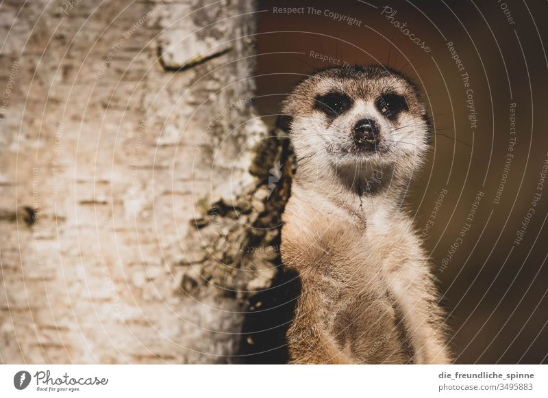 Erdmännchen Tier Tierporträt Blick Baum Zoo tierpark Greifswald niedlich Neugier süß flauschig Wildtier Schüchternheit Außenaufnahme Natur Tiergesicht