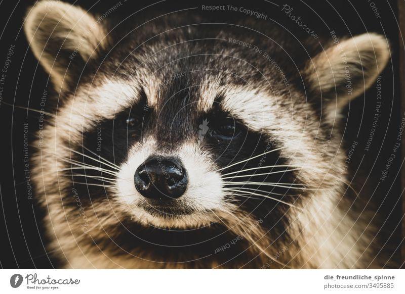 Waschbär Tier Tierporträt Blick Zoo tierpark Greifswald niedlich Neugier süß flauschig Wildtier Schüchternheit Kopf Auge Außenaufnahme Tiergesicht Natur